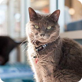 Domestic Shorthair Cat for adoption in Denver, Colorado - June