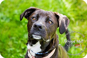 Boxer/Springer Spaniel Mix Dog for adoption in Mohawk, New York - Daisy