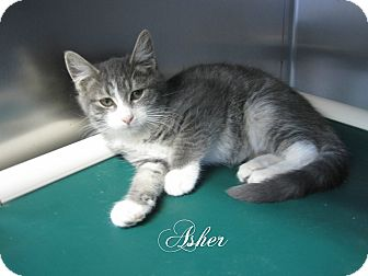 Domestic Shorthair Kitten for adoption in Jackson, New Jersey - Asher