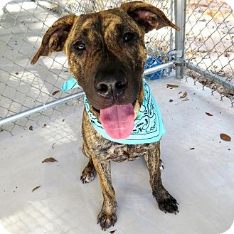 Dutch Shepherd Mix Dog for adoption in Umatilla, Florida - Jazz