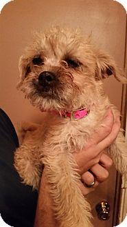 Pug/Terrier (Unknown Type, Small) Mix Puppy for adoption in Tucson, Arizona - Mistletoe
