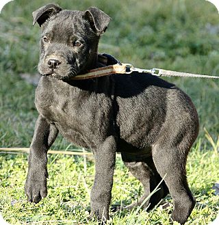 Labrador Retriever/Schnauzer (Standard) Mix Puppy for adoption in St. Louis, Missouri - Alexey