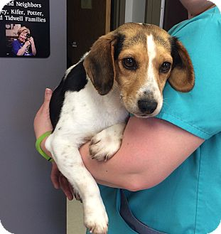 Beagle Mix Dog for adoption in Greensburg, Pennsylvania - Cass