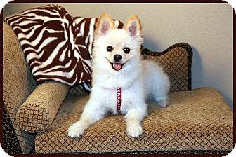 Pomeranian Dog for adoption in Dallas, Texas - Max