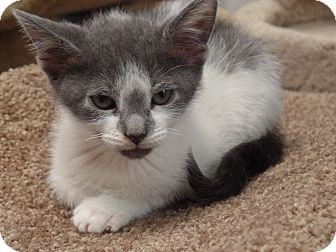 Domestic Shorthair Kitten for adoption in Wayne, New Jersey - Hurley