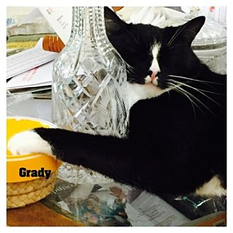 Domestic Shorthair Cat for adoption in Monrovia, California - Grady