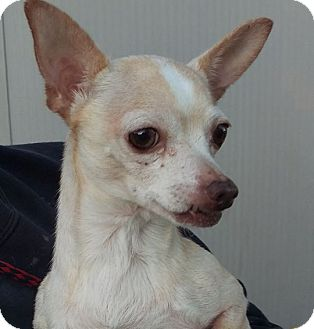 Chihuahua Mix Dog for adoption in Las Vegas, Nevada - Princess