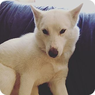 Husky/Shepherd (Unknown Type) Mix Dog for adoption in Redondo Beach, California - Kayla