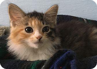 Calico Kitten for adoption in Savannah, Georgia - Claire