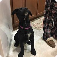 Adopt A Pet :: Bella - El Paso, TX