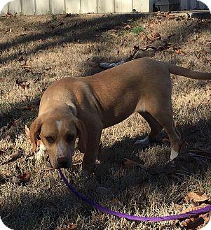 Labrador Retriever Mix Puppy for adoption in Portland, Maine - Cher