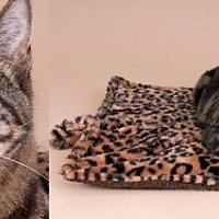 Adopt A Pet :: Calvin - Chicago, IL