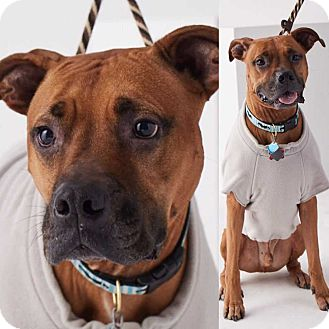 American Pit Bull Terrier/Boxer Mix Dog for adoption in Dallas, Texas - Oscar - Guest Dog