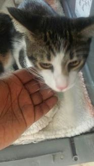 Domestic Shorthair/Domestic Shorthair Mix Cat for adoption in St. Thomas, Virgin Islands - Shamoi
