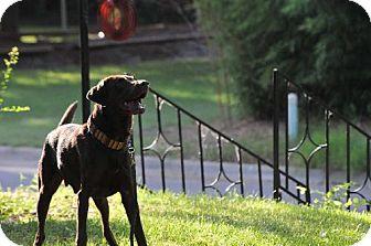 Labrador Retriever Dog for adoption in Denton, Texas - Bailey