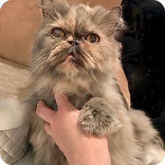 Persian Cat for adoption in Greenburgh, New York - Peaches