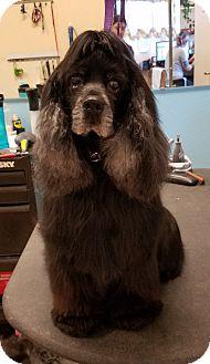 Cocker Spaniel Mix Dog for adoption in Las Vegas, Nevada - Oprah