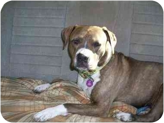 American Staffordshire Terrier/Boxer Mix Dog for adoption in Sacramento, California - Taiya