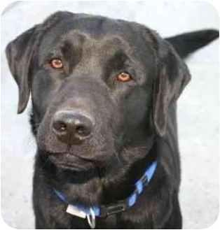 Labrador Retriever Dog for adoption in San Diego, California - ALI