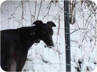 Greyhound Dog for adoption in Musquodoboit Harbour, Nova Scotia - Fuzzy's Blackbelt