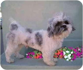 Shih Tzu/Poodle (Miniature) Mix Dog for adoption in Los Angeles, California - NIKO