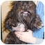 Photo 1 - Lhasa Apso Dog for adoption in Anderson, Indiana - Indy