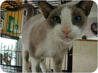Snowshoe Cat for adoption in Fort Lauderdale, Florida - Chantilly