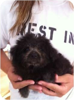 Pomeranian/Poodle (Standard) Mix Puppy for adoption in Lonedell, Missouri - Patch