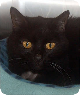 Domestic Shorthair Cat for adoption in San Clemente, California - MATTIE