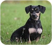 Dachshund Mix Dog for adoption in Avon, New York - Gentry