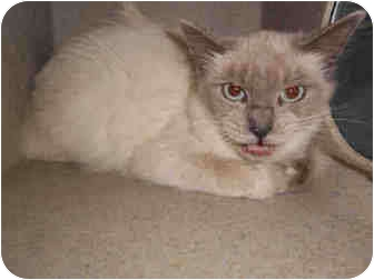 Siamese Cat for adoption in Yuba City, California - Kira