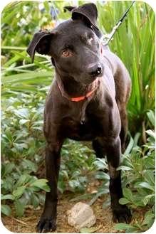 Labrador Retriever Mix Dog for adoption in Mission Viejo, California - Hope