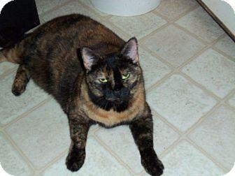 Domestic Shorthair Cat for adoption in Houston, Texas - Brandy