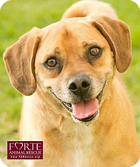 Beagle/Pug Mix Dog for adoption in Marina del Rey, California - Bailey