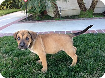 Labrador Retriever/German Shepherd Dog Mix Puppy for adoption in Long Beach, California - Chubbs