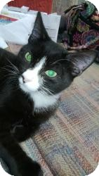 Domestic Shorthair Cat for adoption in Medford, New Jersey - Poly Boy (Lisa's cat)