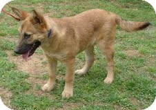 Shepherd (Unknown Type) Mix Puppy for adoption in Spring Valley, New York - Yogi