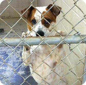 Australian Cattle Dog Mix Dog for adoption in Greensburg, Pennsylvania - Strawberry