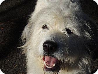 Old English Sheepdog/Great Pyrenees Mix Dog for adoption in Allentown, Pennsylvania - Shaina