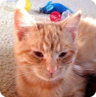 Domestic Shorthair Kitten for adoption in Green Bay, Wisconsin - Frank