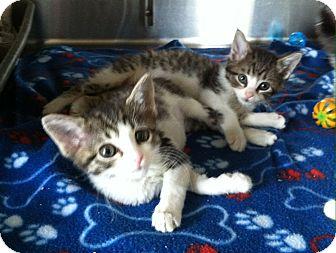 Domestic Shorthair Kitten for adoption in Greensburg, Pennsylvania - Kali
