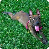 Adopt A Pet :: Trixie very unique coat color - Sacramento, CA