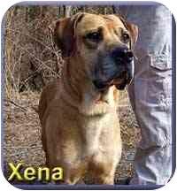English Mastiff Mix Dog for adoption in Aldie, Virginia - Xena