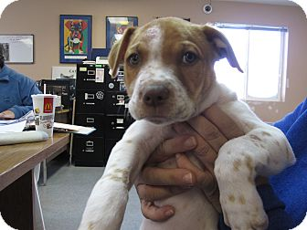 German Shorthaired Pointer/Jack Russell Terrier Mix Puppy for adoption in Buffalo, Wyoming - Simba