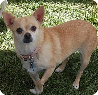 Chihuahua Mix Dog for adoption in C/S & Denver Metro, Colorado - Lexi   8 Years