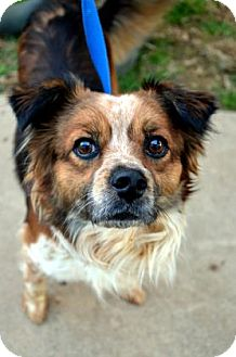 Sheltie, Shetland Sheepdog/Australian Cattle Dog Mix Dog for adoption in Fort Smith, Arkansas - Harley