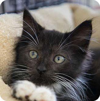 Domestic Mediumhair Kitten for adoption in Merrifield, Virginia - Zulu