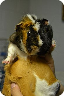 Guinea Pig for adoption in Michigan City, Indiana - Leigha