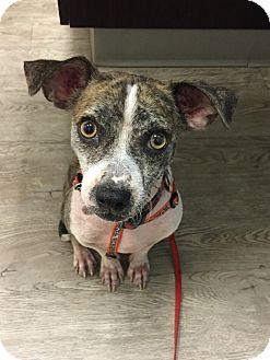 Chihuahua Mix Dog for adoption in Chandler, Arizona - Jiminy Cricket