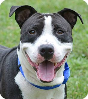 Pit Bull Terrier Mix Dog for adoption in Cranford, New Jersey - Hugo